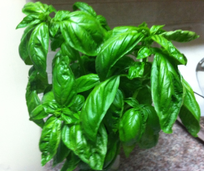 Freshly picked basil