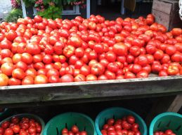 Piles of tomatoes at Maple Acres Farm